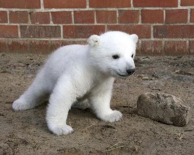 http://cedarlounge.files.wordpress.com/2008/06/polar_bear_knut_380.jpg